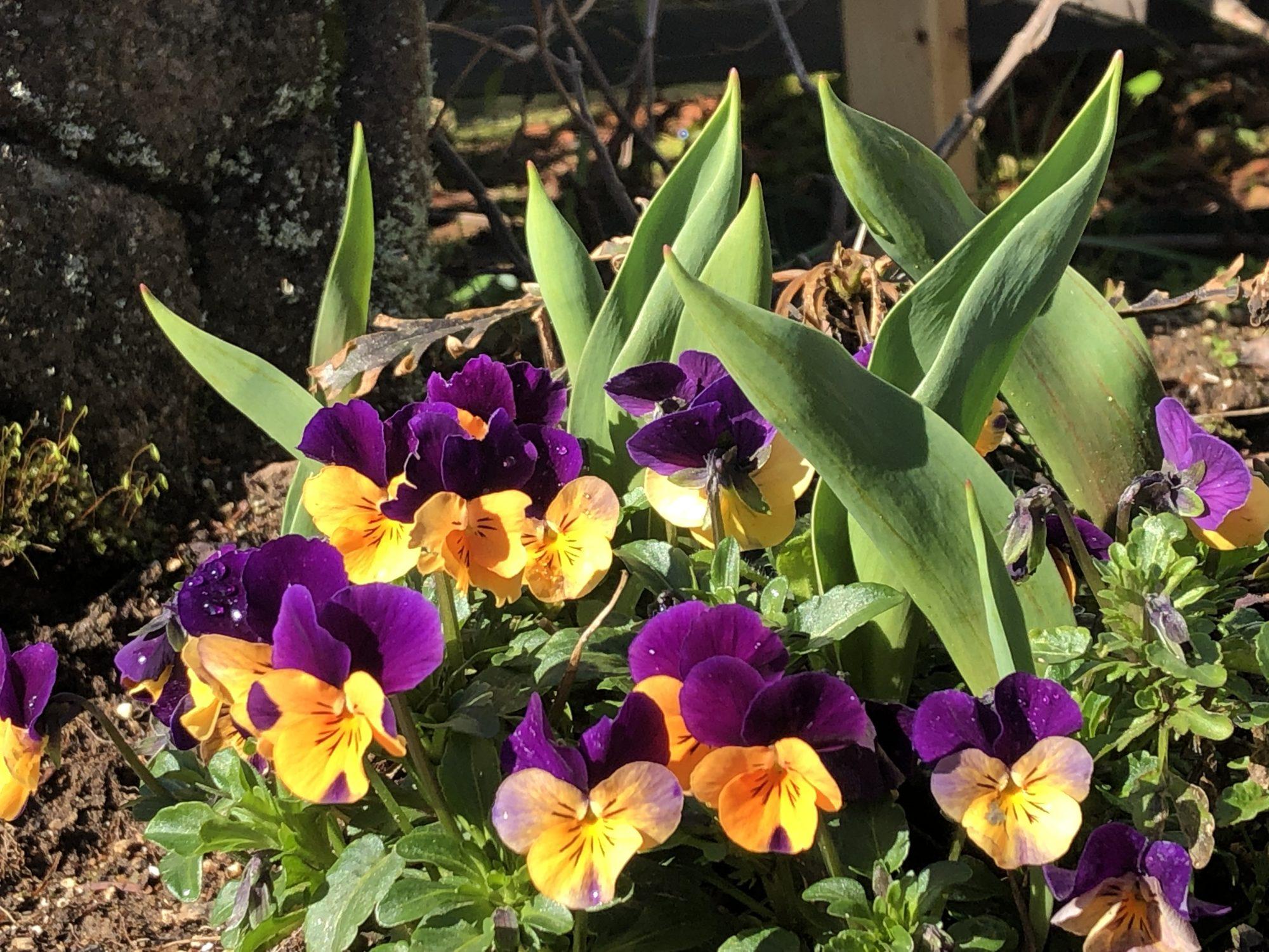 3月花壇パンジー